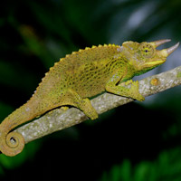 Jacksons Chameleon For Sale